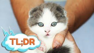 How We Got our Scottish Fold Kitten in Korea