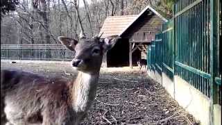 preview picture of video 'Prague : The Kunratice forest : Mini Zoo nook : Roe Deer Capreolus capreolus'