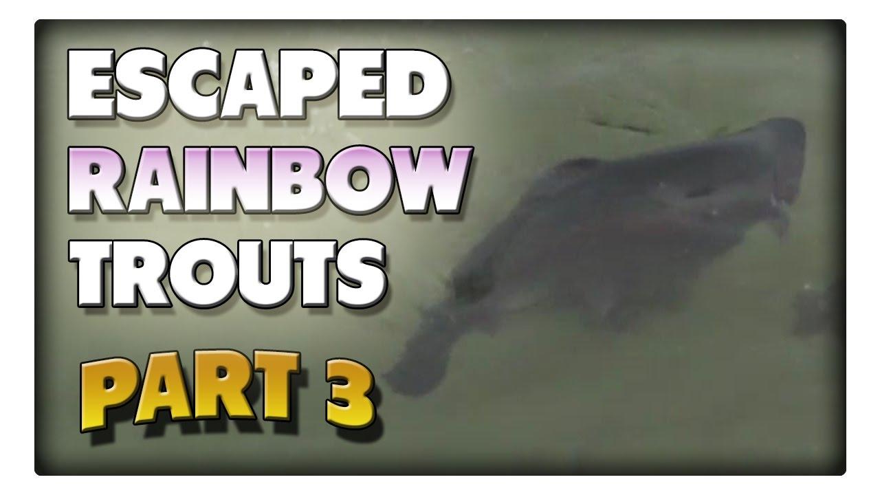 Angeln auf die ausgebrochenen Regenbogenforellen! Teil3