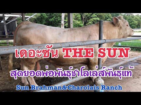 #วัวชาโลเล่ห์ บ่าวตั้ม ค้ำคุณฟาร์ม แปลงหญ้าเป็นเนื้อ แปลงเนื้อเป็นเงิน วัวนำเข้าจากสหรัฐอเมริกา