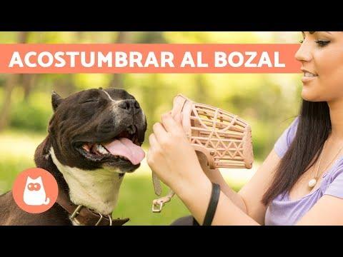 Cómo acostumbrar a un perro a utilizar el bozal
