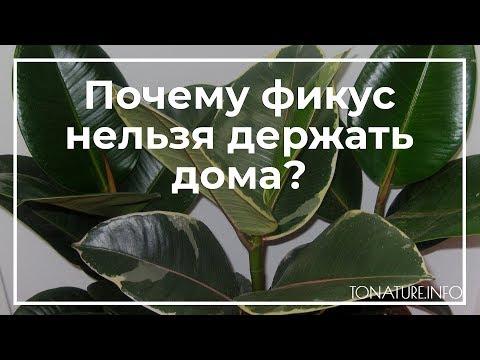 Почему фикус нельзя держать дома?   toNature.Info
