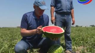 В Дагестане в разгаре сбор бахчевых культур
