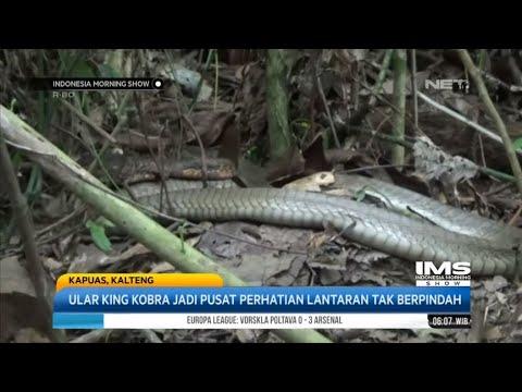 Seekor Ular King Kobra Berdiam Diri Sekitar 4 Tahun- IMS