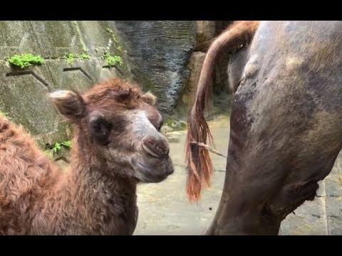 雙峰駱駝寶寶報到〜媽媽「梅煙」舐續情深!