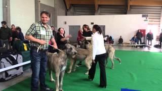 Irish Wolfhound IRSKÝ VLKODAV ARON 2014
