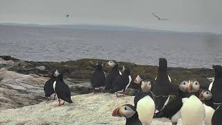 Puffin Loafing Ledge Cam 06-23-2018 11:29:13 - 12:29:14