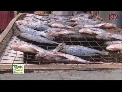 SEEDS OF GOLD: Why Cage fish farming is a potential gold mine