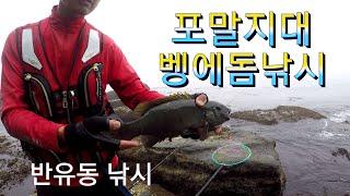 Opaleye rock fishing #104