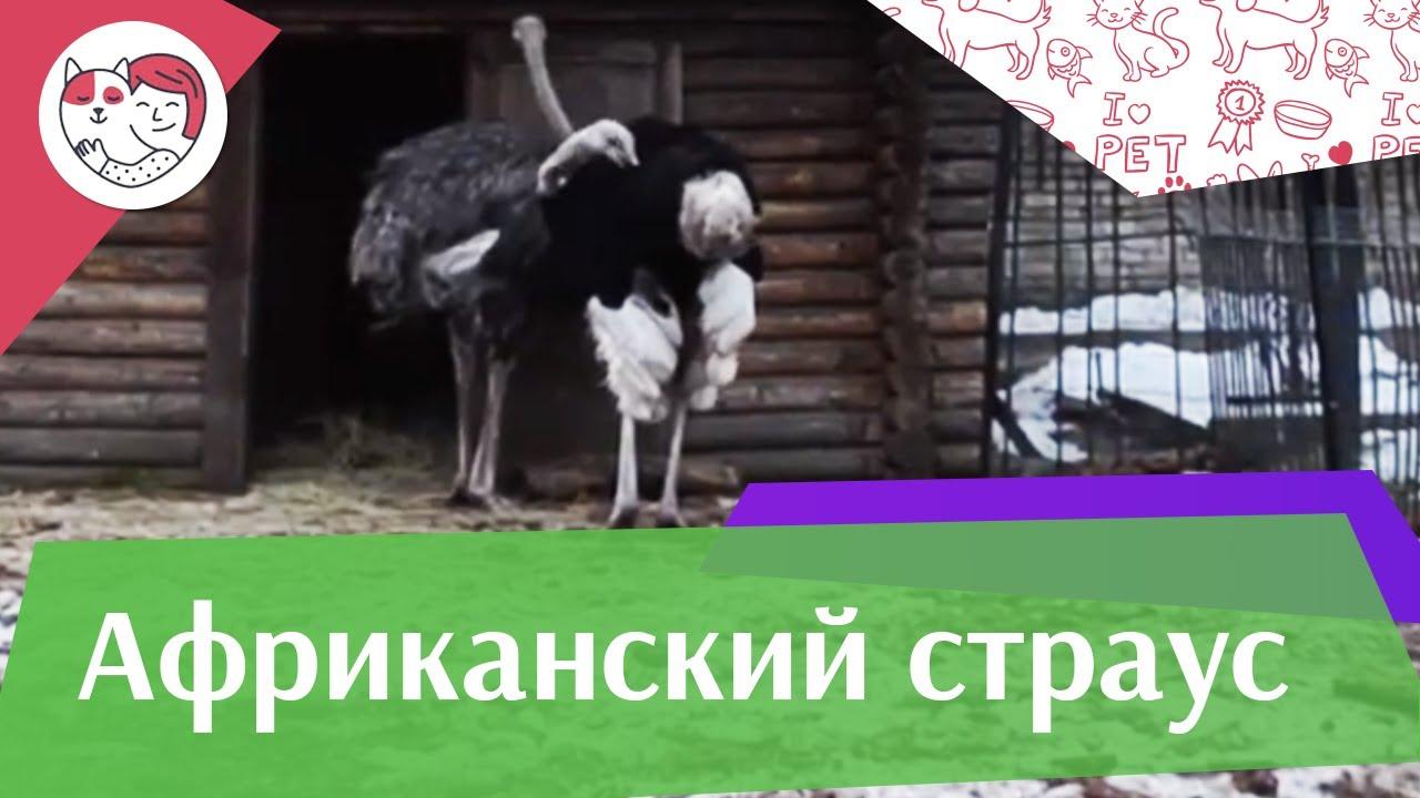 Африканский страус Самая большая птица на ilikepet