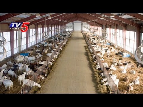 , title : 'Sheep Farming | Modern Farming Methods | Annapurna | Telugu News | TV5 News