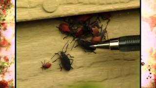 Red Shoulder Bugs