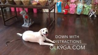 Labrador Retriever Training, Whitley, 7 month old Lab before/after obedience training video