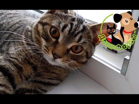 Кошка упала с балкона или окна, первая помощь