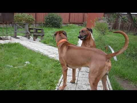 Любовные игры риджбеков (Дэля в гостях у Ярика - вязка собак).