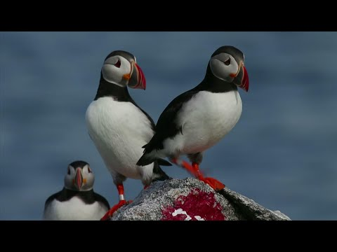 One of the most beloved birds in Maine is having one of its most productive seasons for mating pairs in years on remote islands off the state's coast. (Aug. 5)