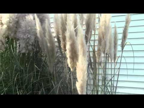 PAMPAS GRASS INFO AND TIPS