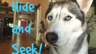 Hide and Seek With my Husky!
