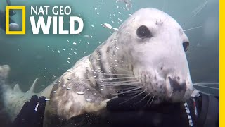 Watch a Seal Get Up Close and Personal With Diver | Nat Geo Wild