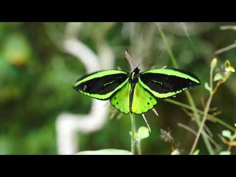 メガネトリバネアゲハ Ornithoptera priamus