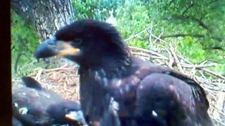 Decorah Baby Eagle Practicing For His First Flight