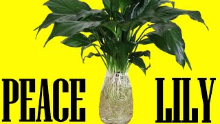 Peace Lily In Water Culture REVISITED   Let's Try This Again