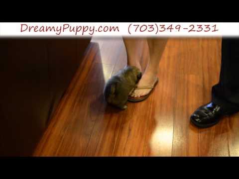 Superb Pekingese Male Puppy