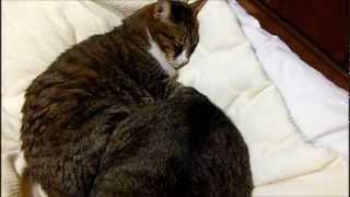 ボブテイル猫の逆襲のち仲直り-Catsbattlethengoodfriends