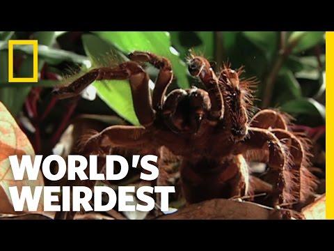 World's Biggest Spider | World's Weirdest