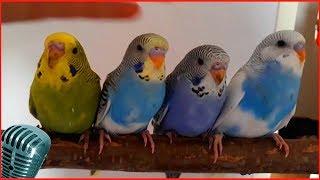 волнистые попугаи #4 видео слушать пение волнистых попугаев