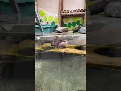【池田動物園公式】カワウソの食餌の様子