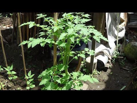 Video 5 Hal Penting Perawatan Tanaman Tomat agar Produksinya Maksimal (29 12 2016)