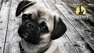 Pug Puppy: Basic Obedience