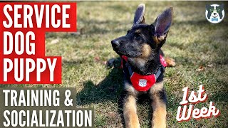 Training and Socializing Your Service Dog: Puppy's First Week Home