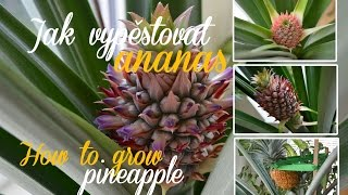 Jak vypěstovat ananas | How to grow pineapple