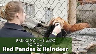 Bringing the Zoo to You - Red Panda & Reindeer