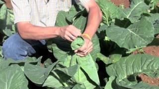 Banding Cauliflower - How To Gardening Guide