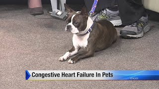 Congestive heart failure in pets