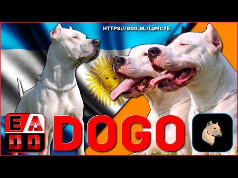, title : 'EL MAJESTUOSO DOGO ARGENTINO   Historia y características del dogo argentino   EADD CHANNEL