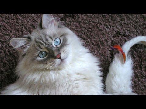 Невская маскарадная, Уход и содержание, Породы кошек