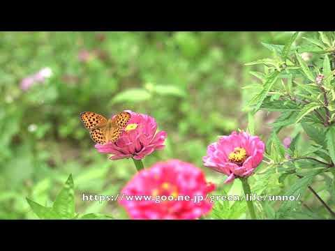 庭のウラギンスジヒョウモンの飛翔