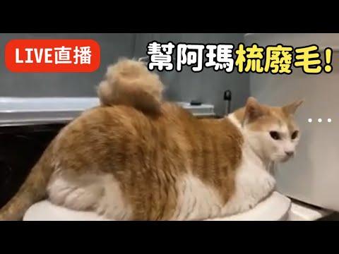 黃阿瑪梳毛時間~!乖乖的梳毛不好嗎 一直跑走呀xD 可愛的貓咪廢毛一堆