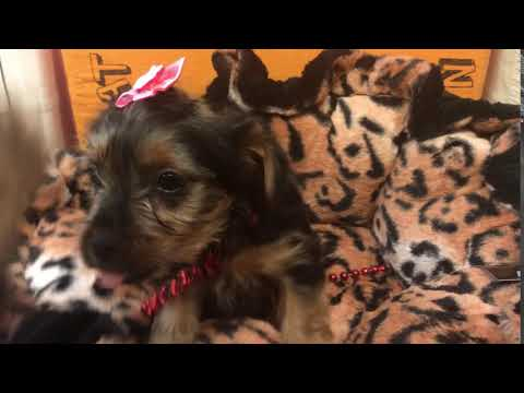 Neera Cute Yorkie for sale Bayside Flushing Queens NY