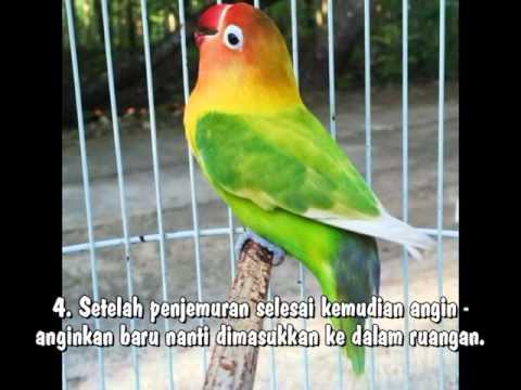 Video PERAWATAN LOVEBIRD AGAR SELALU NGEKEK PANJAAANG