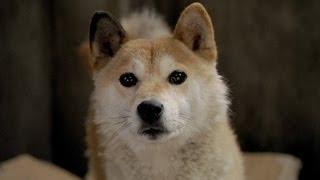 『ひまわりと子犬の7日間』ひまわり役・イチの名演技映像