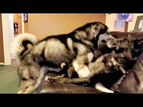 Malamute's Epic Fail At Romance…………..LMBO!
