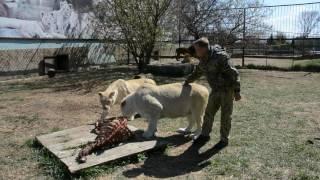 Не повезло корове - повезло львам