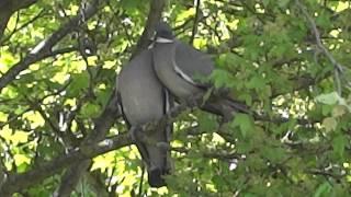 Taubenliebe im Garten