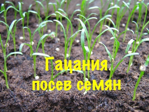Гацания. Как правильно посеять,вырастить Гацанию.  1-посев семян