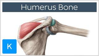 Humerus Bone - Anatomy, Definition & Function - Human Anatomy |Kenhub